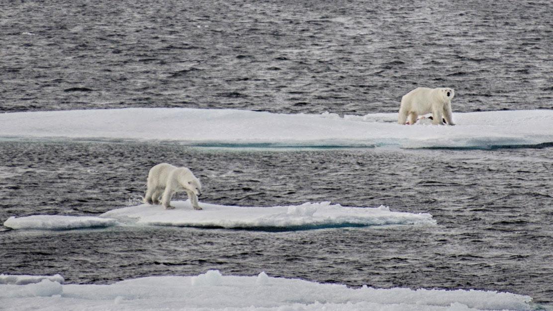 A polar bear defends a harp seal kill against a rival near near Devon Island in Arctic Canada.