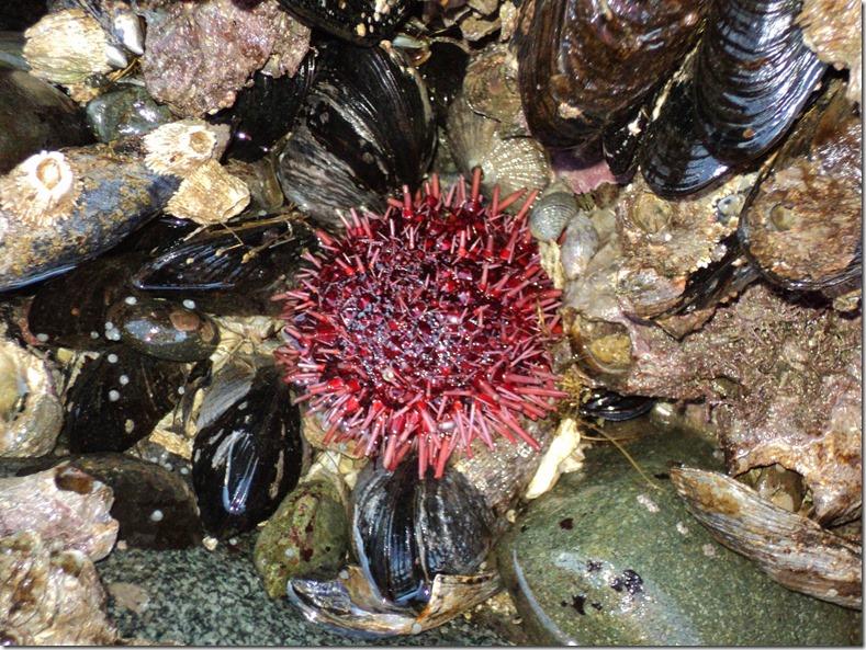 sea urchin in tidepool