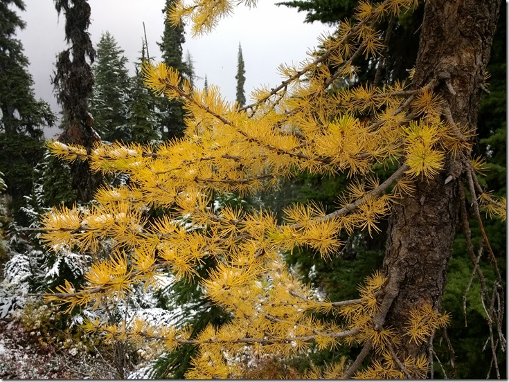 Bright yellow larch needles against a background of evergreen trees and fresh snow