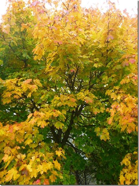Cedar River Trail Maple Tree fall color