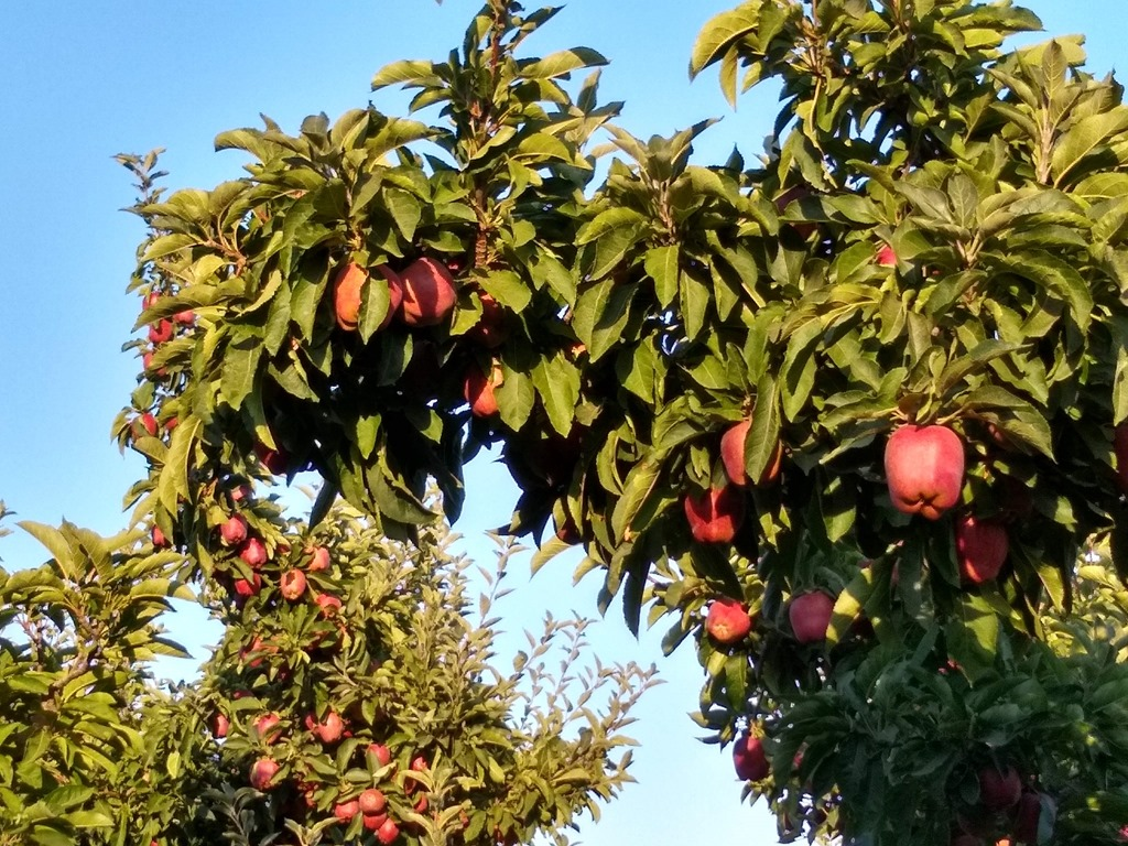 washington apples ripe on tree