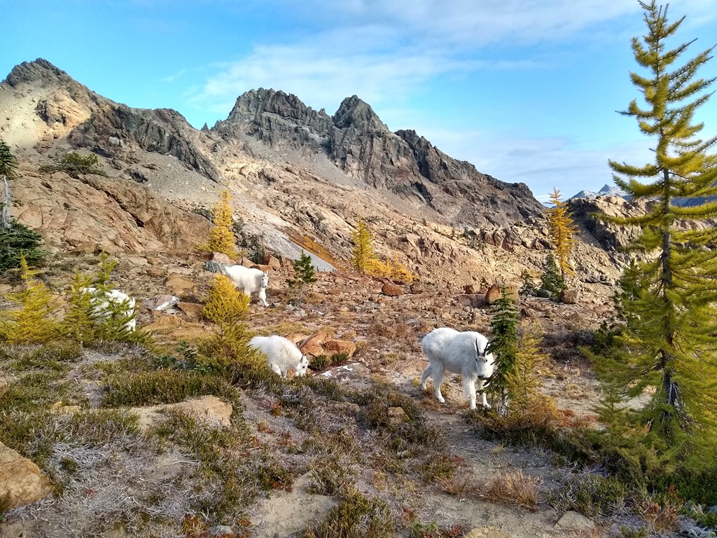 four white goats are between green and yellow larch trees and bushes. There are rocks around them and mountains in the background
