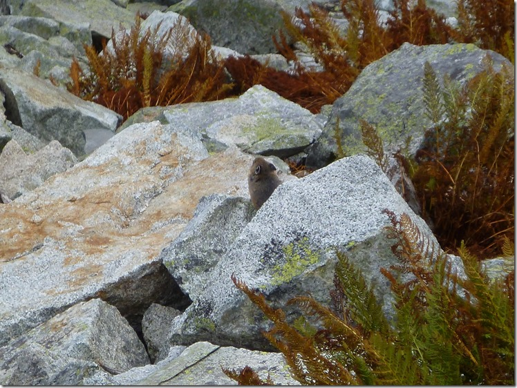 a pika pokes it's head out between a few boulders and ferns