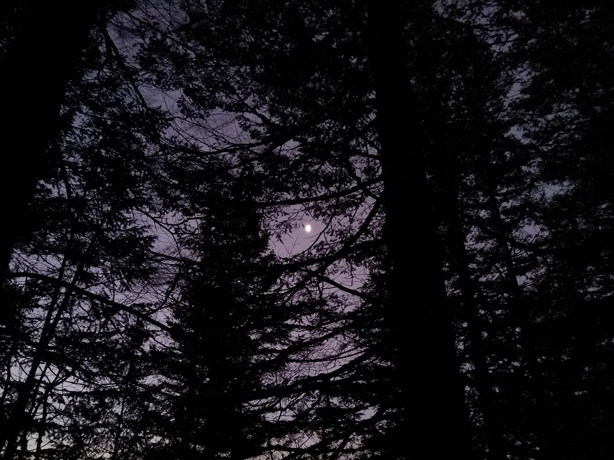 The moon seen in early morning light in the forest