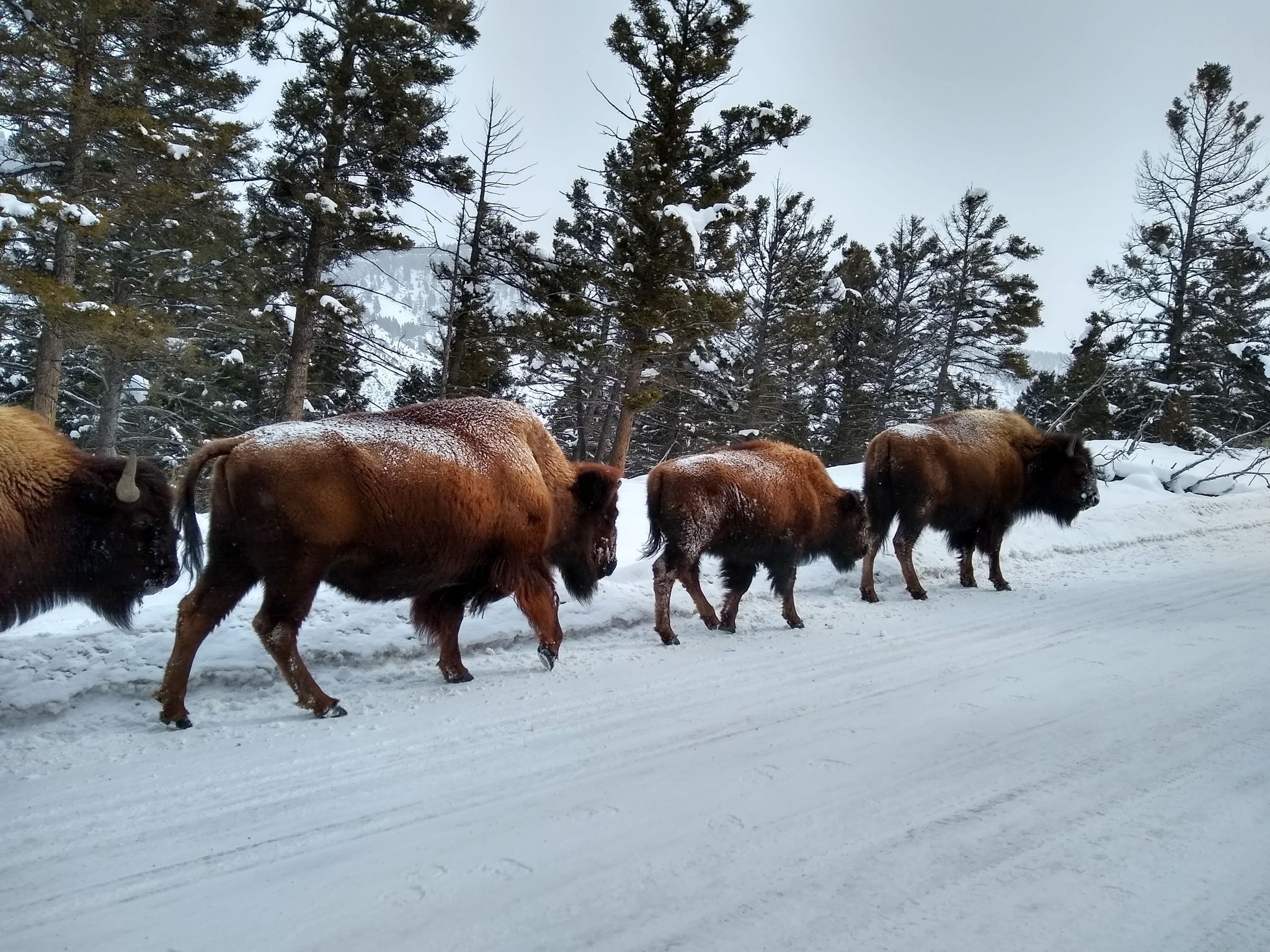 Bison walk along a snowy road through the forest