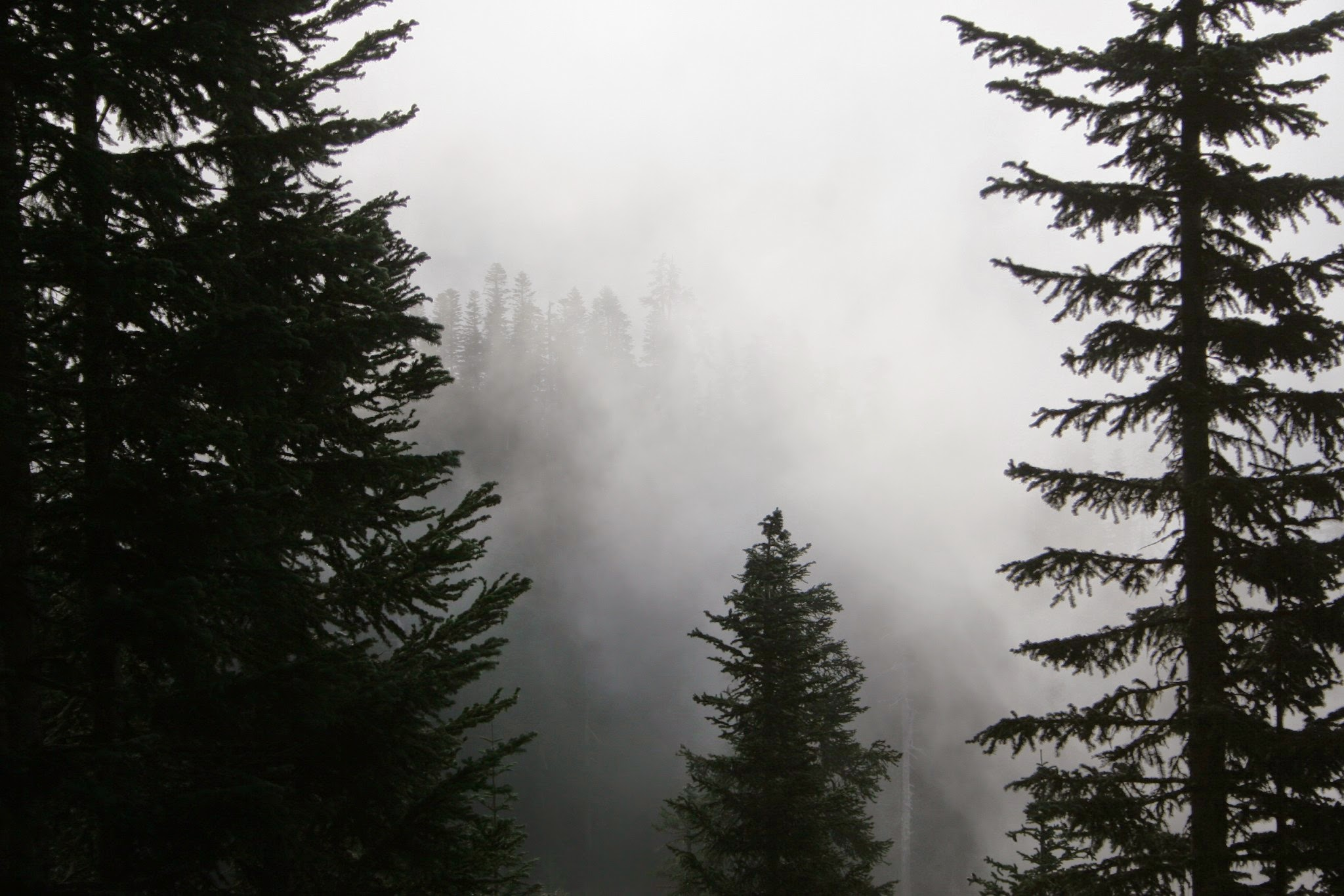 A forest of evergree trees in teh fog