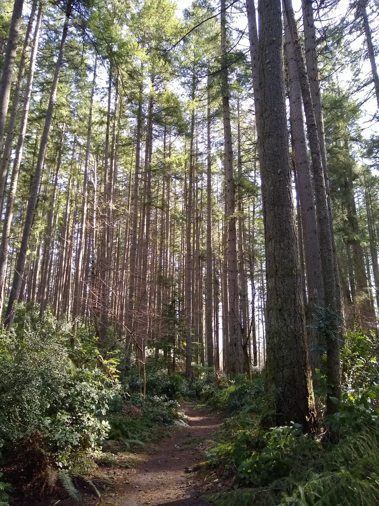 Tall straight trees without leaves with ferns below and a winding trail