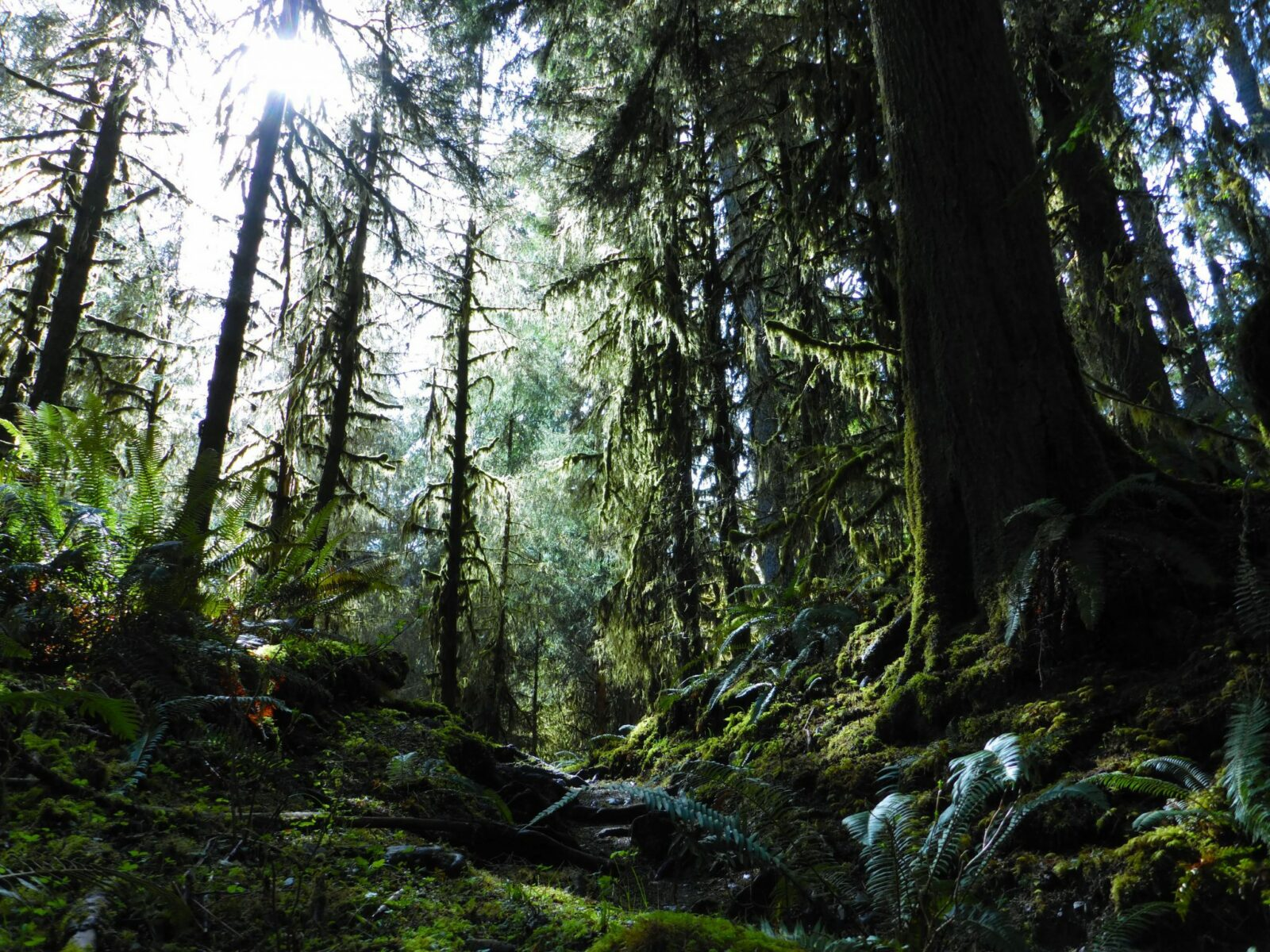 The Hoh Rainforest is a perfect spring hike. There are giant old trees covered in moss and ferns below. On a sunny day the sun struggles to get through the canopy to the forest floor