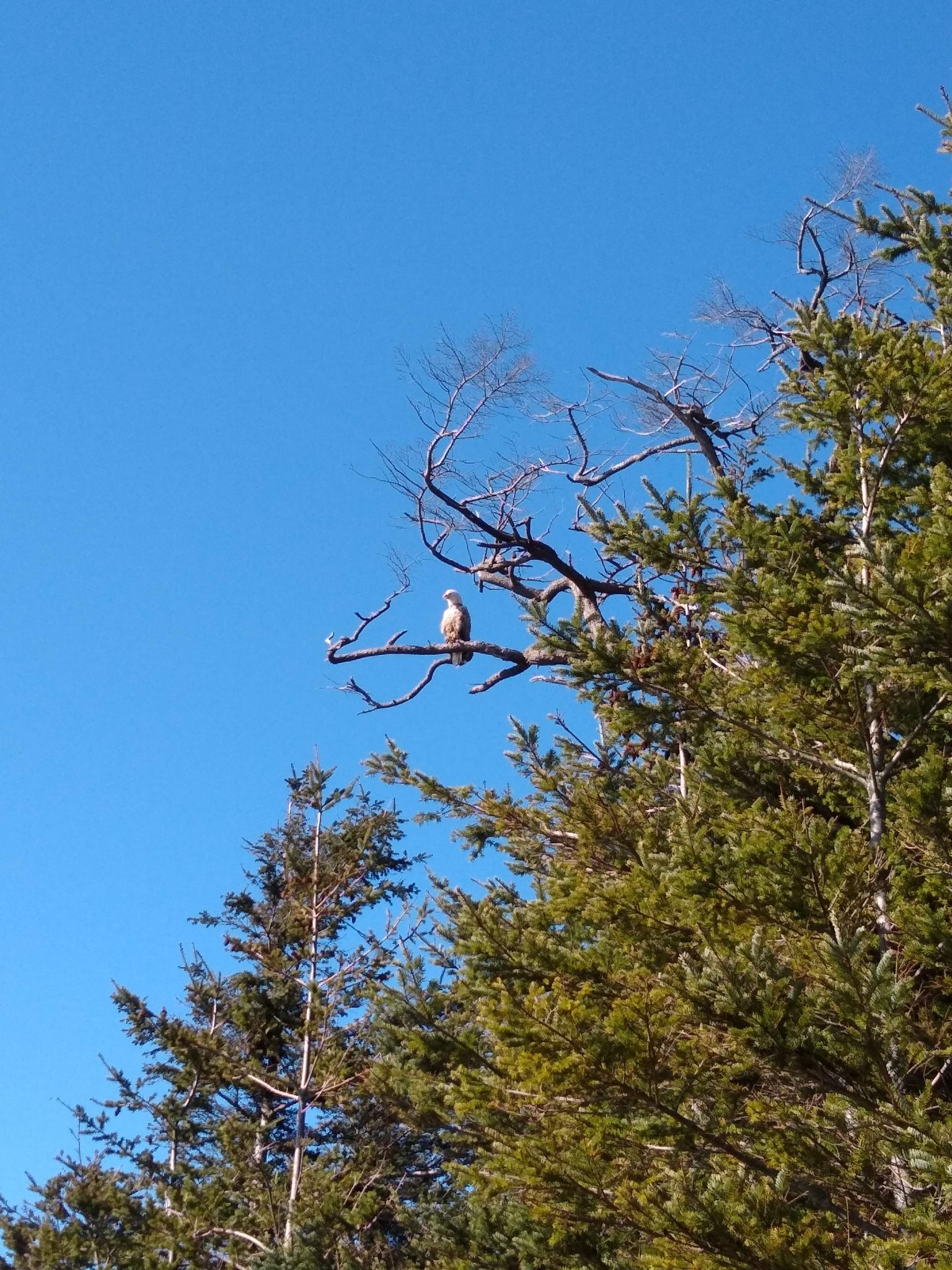 An eagle sits in a tree keeping watch against the blue sky