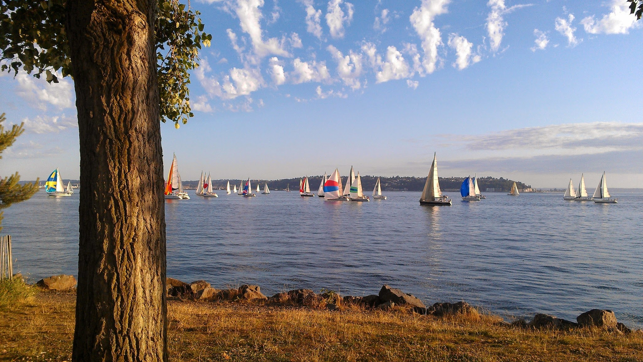 Many colorful sailboats in the water under partly cloudy skies. In the foreground is grass and a tree on shore