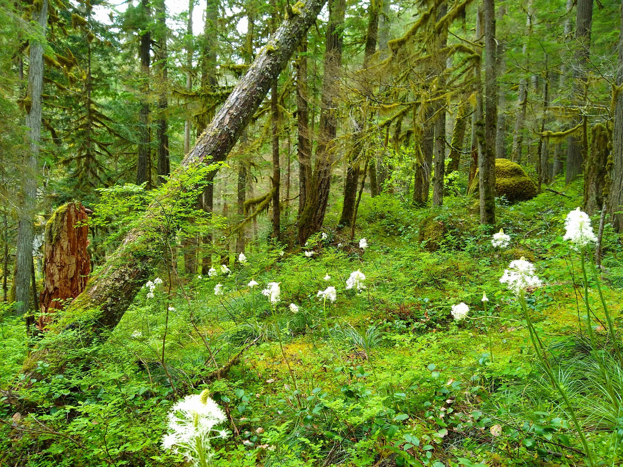 Forest with green undergrowth and scattered white wildflowers on tall stalks