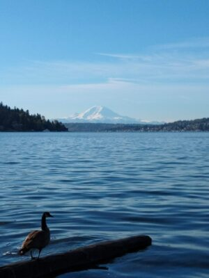 A Canada Goose sits on a log which floats on a lake. In the background are forested hills and a tall snowcapped mountain