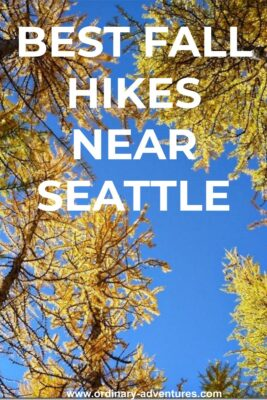 Golden larch trees are seen from below against a blue sky. Text reads: best fall hikes near Seattle