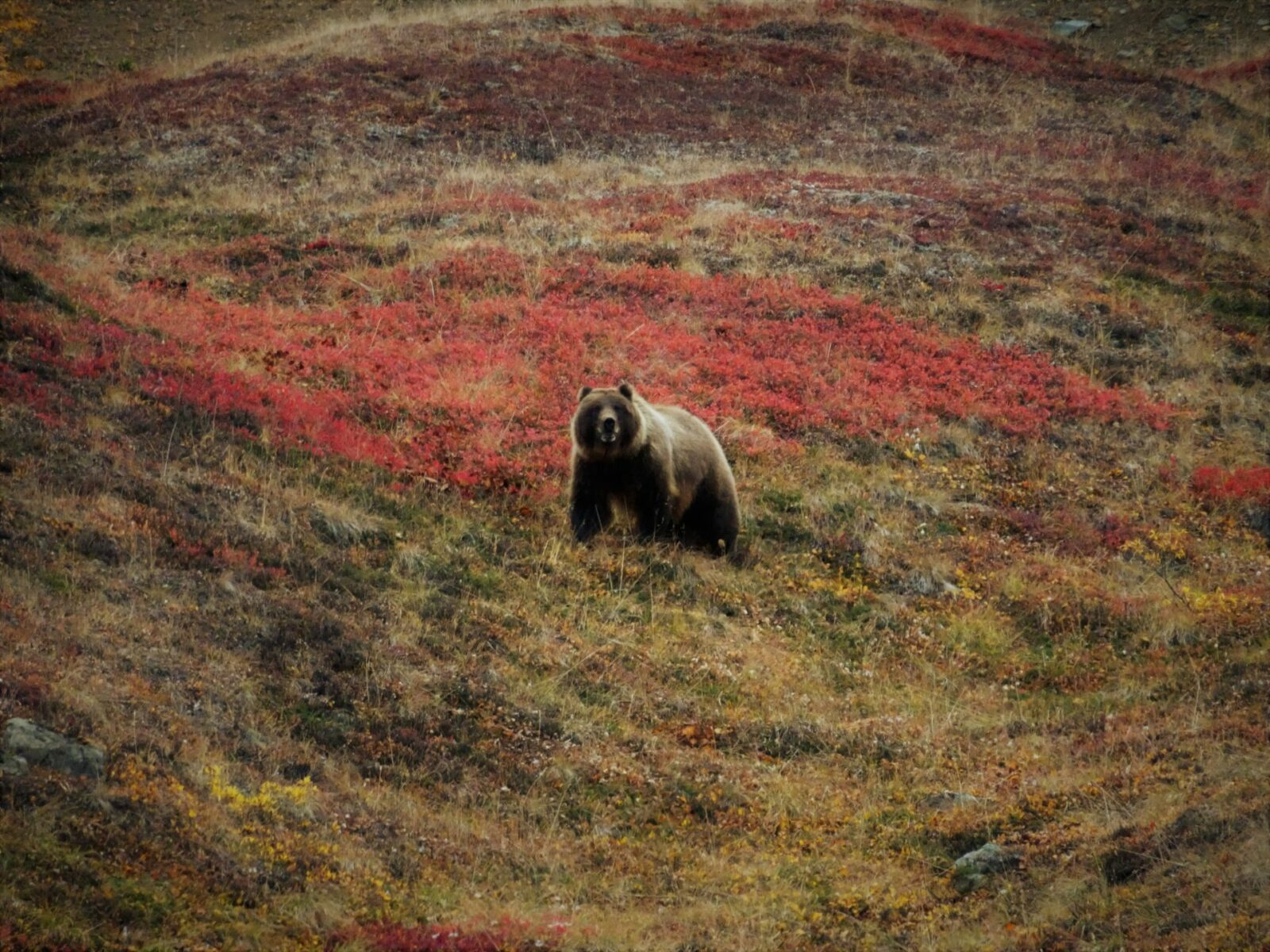 A grizzly bear is looking towards the camera. The bear is in a tundra with bright red fall colors on berry bushes