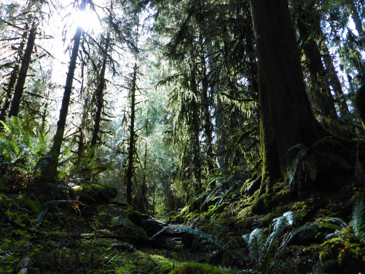 Old Growth trees abound in the dark and green Hoh Rainforest in Olympic National Park. Even on a sunny day the sun barely makes it past the giant trees and moss to the forest floor