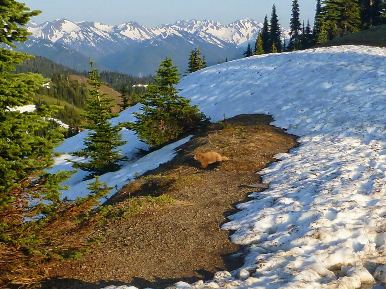 A light brown Olympic marmot next to a melting snowbank among the trees at Hurricane Ridge in Olympic National Park. There are high snow covered mountains in the distance