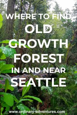 An evergreen tree on the forest floor surrounded by standing trees and green undergrowth in Seward park, one place to see Old growth forest in Seattle. Text reads: where to find old growth forest in and near Seattle