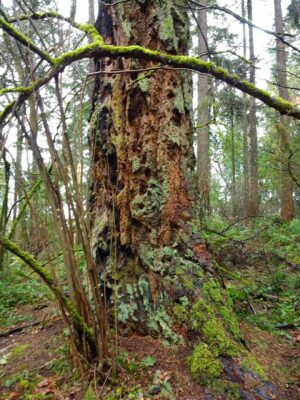 The chunky bark of an old growth Douglas Fir tree in Seattle's seward park
