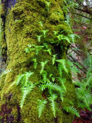 A thick tree covered in green moss and small, green ferns