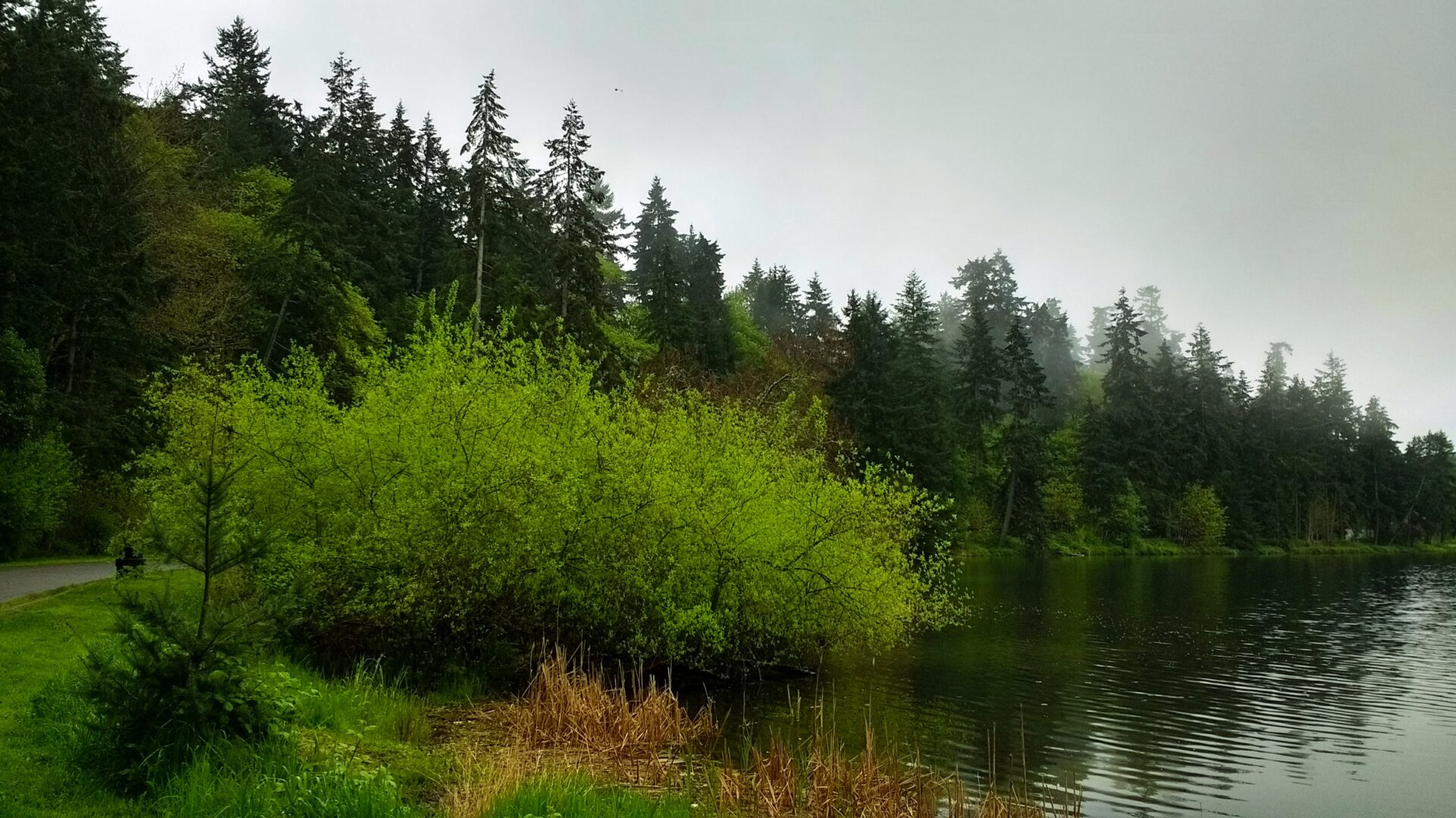 Dark green evergreen trees line the shoreline of Lake Washington in Seward Park on a foggy day.