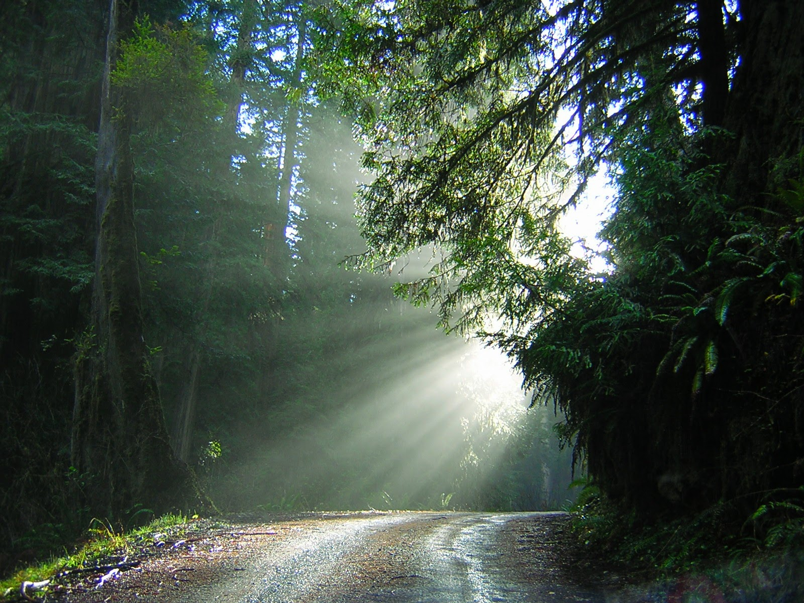 A dirt road in a deep forest with the sun filtering in behind the trees. Green trees and ferns line the sides of the road