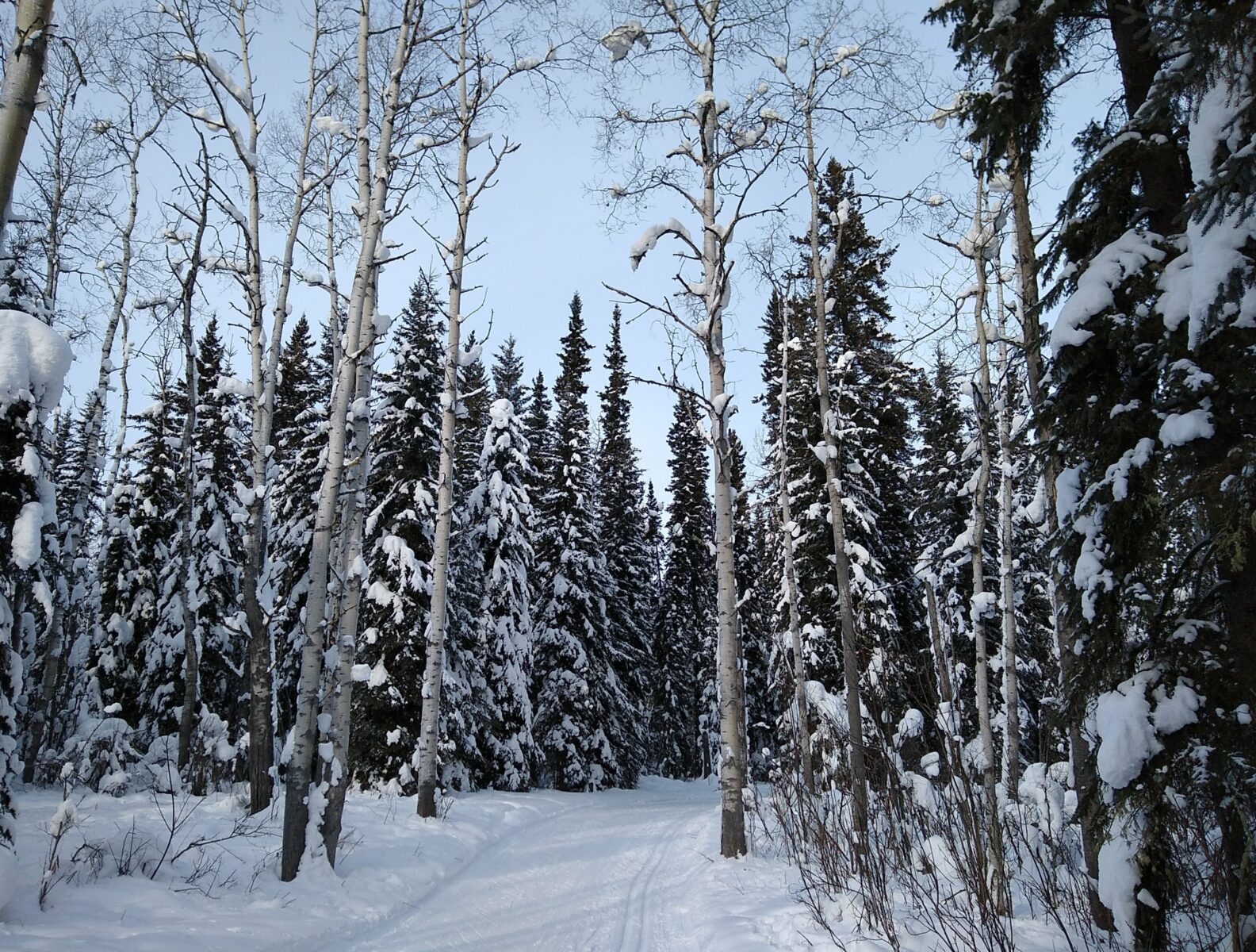 Snowy evergreen and birch trees along the UAF ski trail system, one of the many winter things to do in Fairbanks