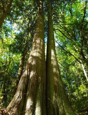 Two old growth cedar trees growing connected to each other. They are in the middle of a dense forest on a sunny day