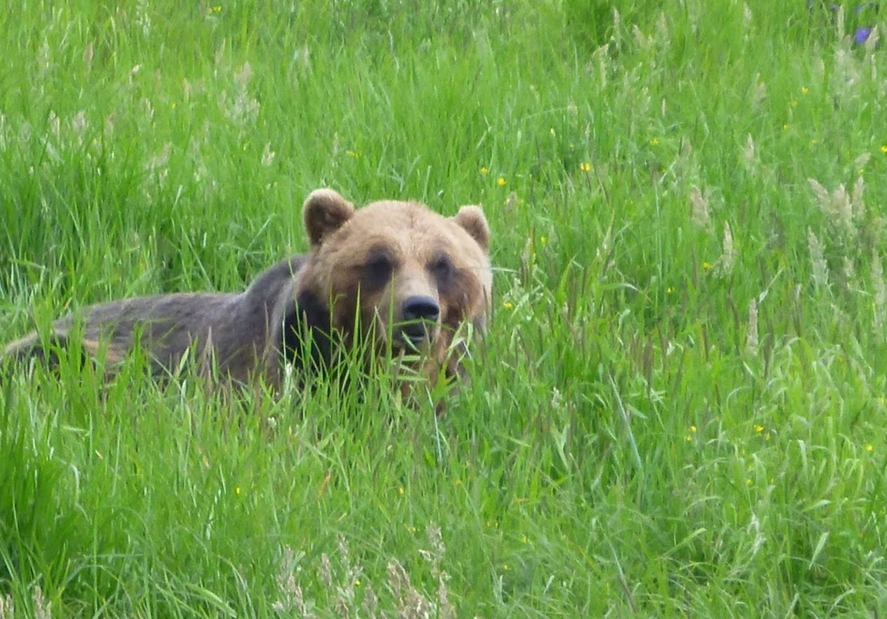 A brown bear in a field of grasses.