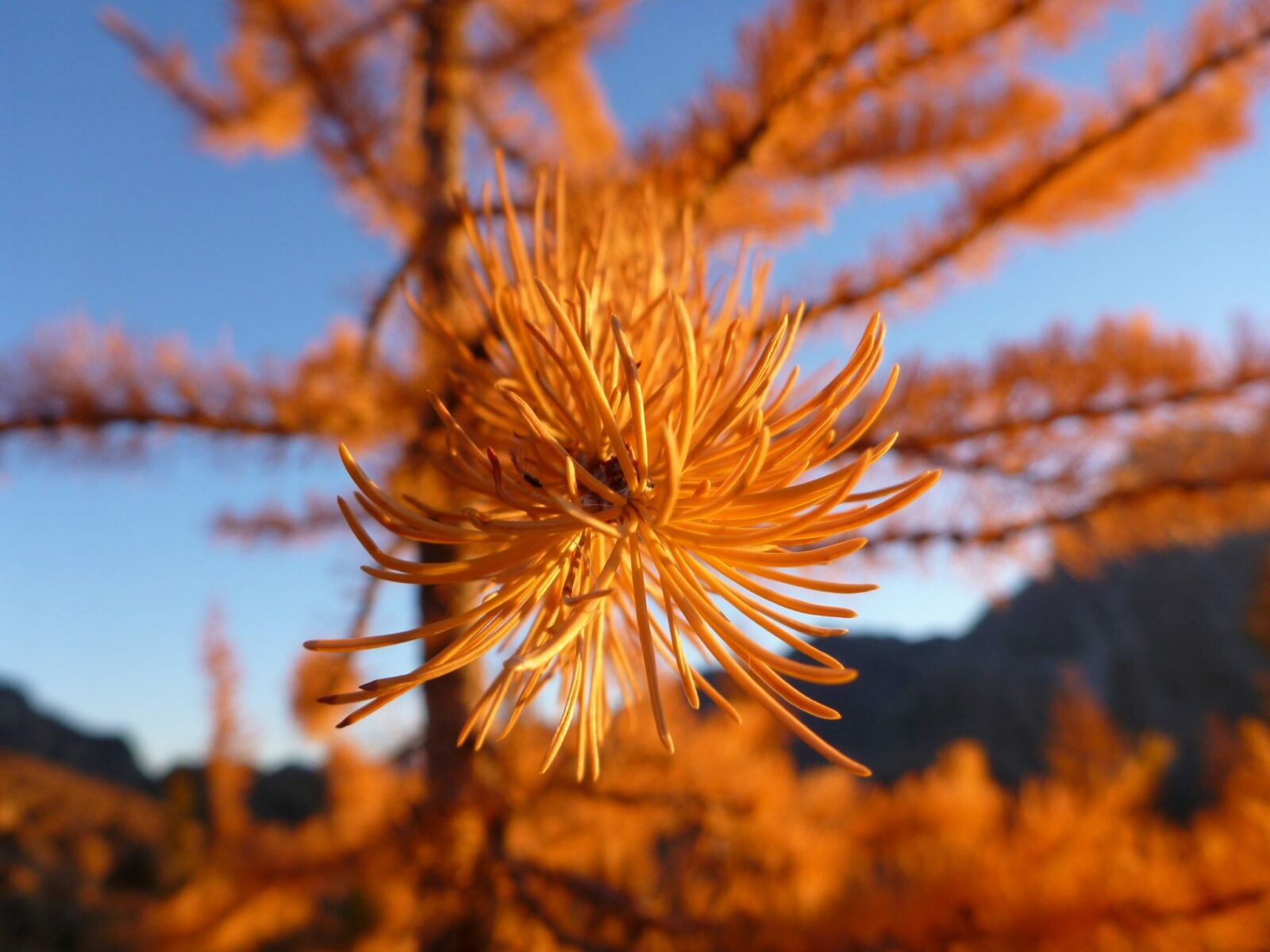 a close up of a the end of a golden larch branch