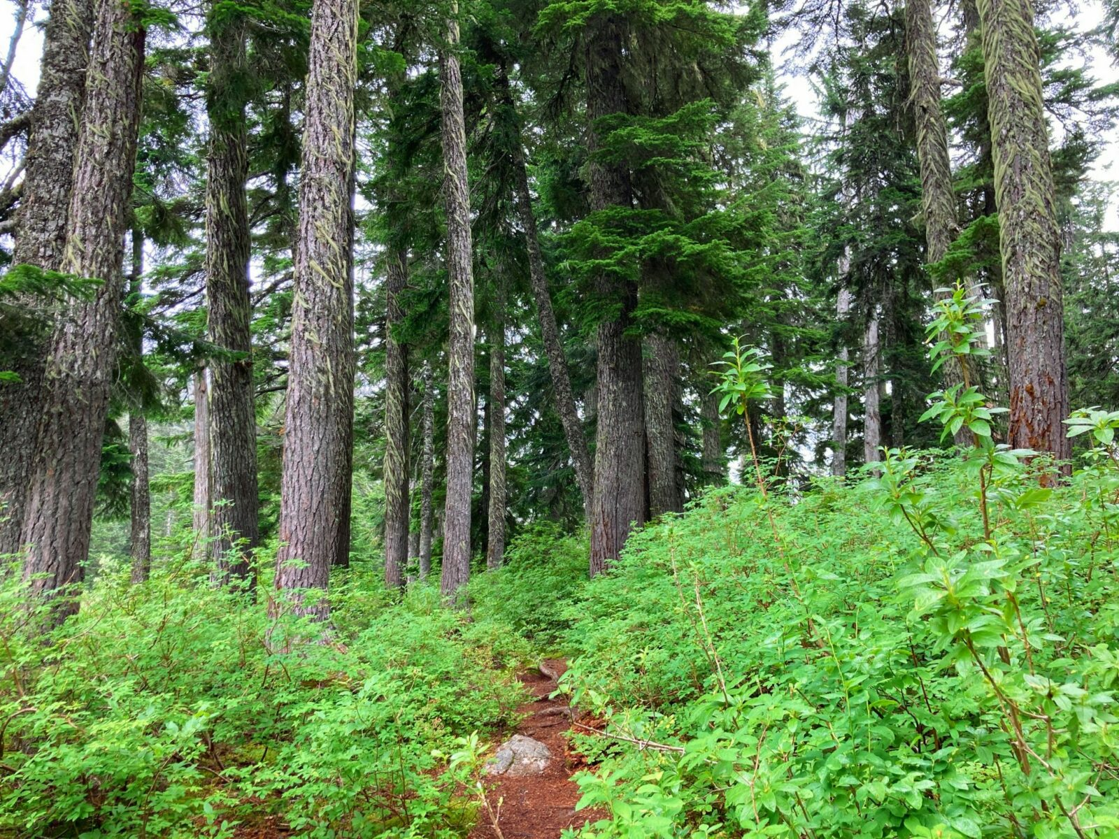 The forest along the Mirror Lake trail with green undergrowth