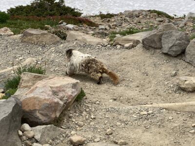 A marmot runs away from the camera along the Skyline Trail. The marmot is brown and white with a long brown bushy tail. There are rocks on each side of the trail and some snow on the right of it.