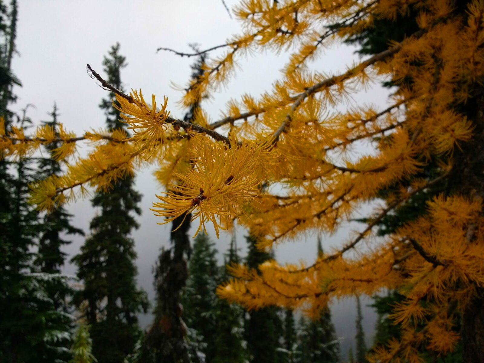 A close up of a golden larch tree branch in North Cascades National Park in October. In the distance are evergreen trees and it's a foggy gray day