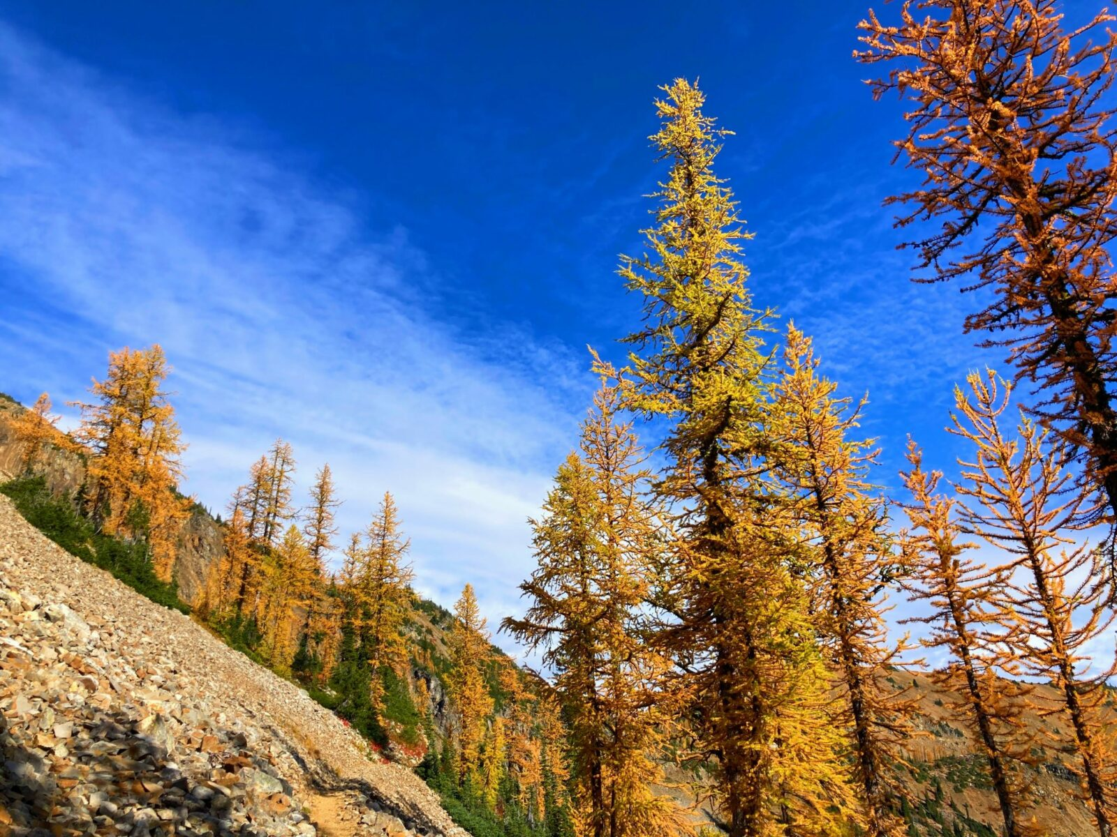 Golden larch trees and a few evergreens against the backdrop of a mountainside and a perfectly blue sky with a few white clouds.