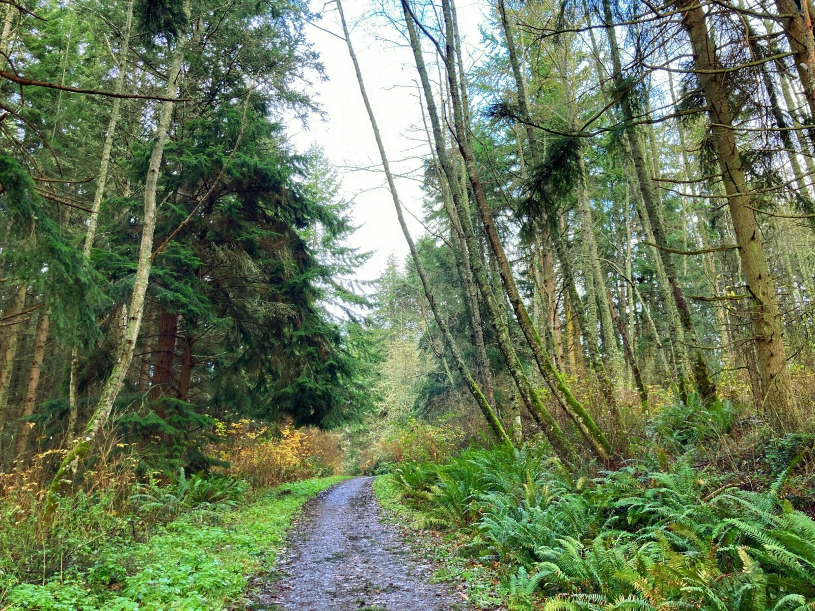 One of the Whidbey Island hikes, Dugualla State park is mostly forested with a beach. In the image, there is a wide muddy trail with leaves on it. The trail is surrounded by evergreen and alder trees as well as ferns and bushes.