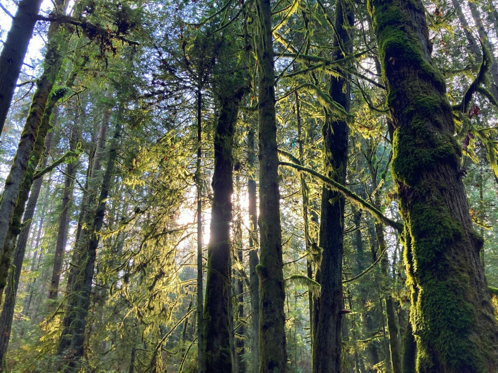 Tall evergreen trees covered in moss surround the Grand Forest trail, one of the best hikes on Bainbridge Island. The sun is backlighting the trees and moss