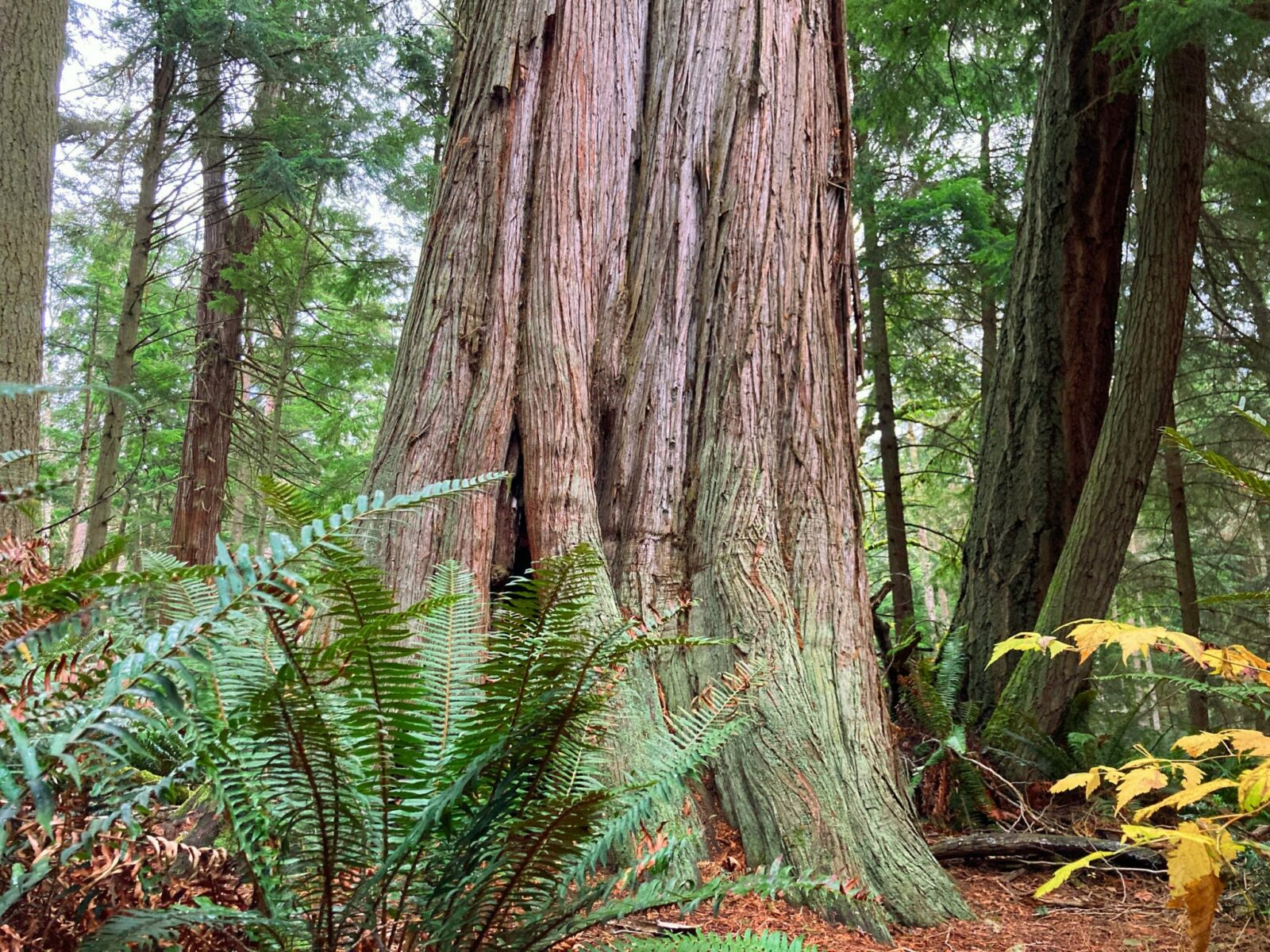 one of the best whidbey island hikes, the Wilbert Trail in South Whidbey state park features impressive old growth trees such as this cedar tree that is hundreds of years old. The base of the tree fills most of the image. The tree branches out a bit at the bottom and is surrounded by ferns