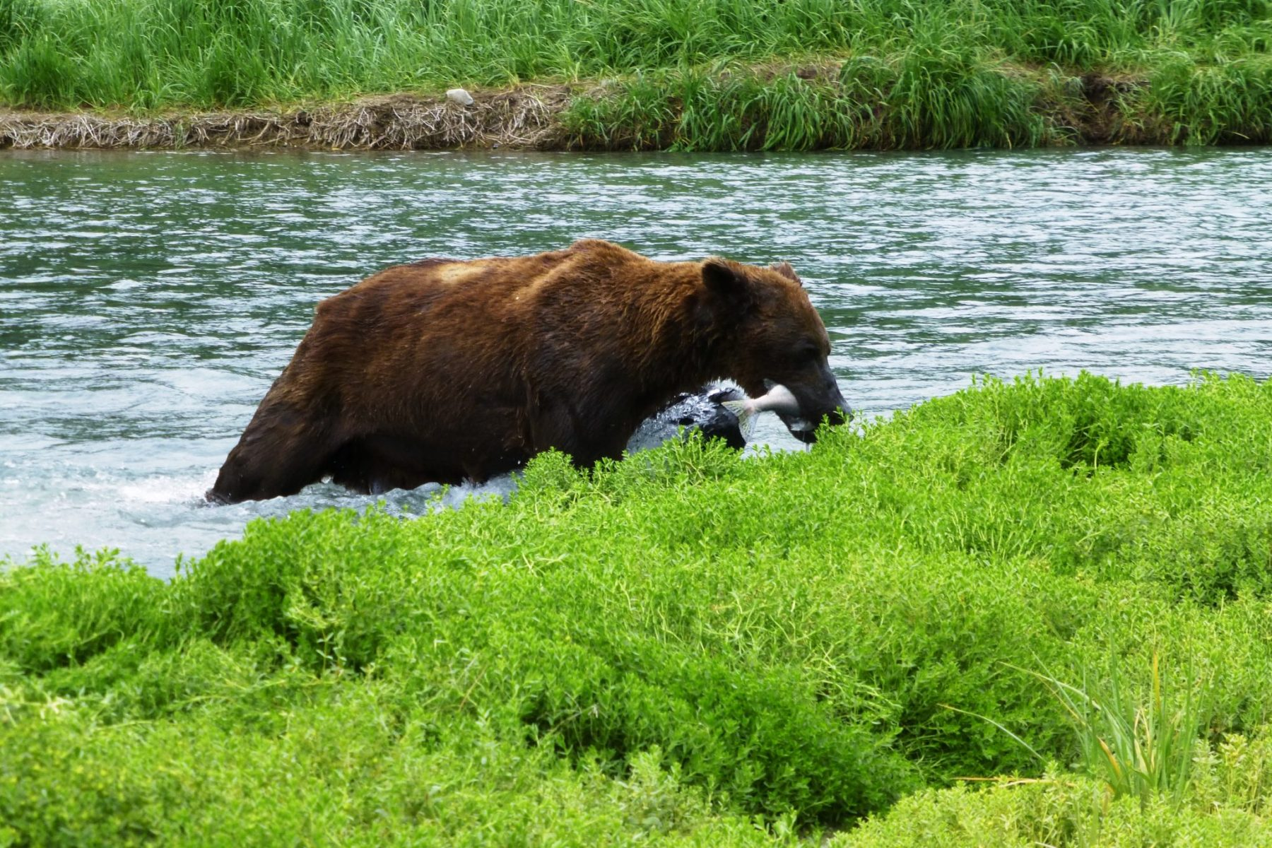 A brown bear coming out of the water with a fish in it's mouth in Katmai, one of the Alaska National parks