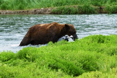 A brown bear with a salmon in its mouth at the edge of a river