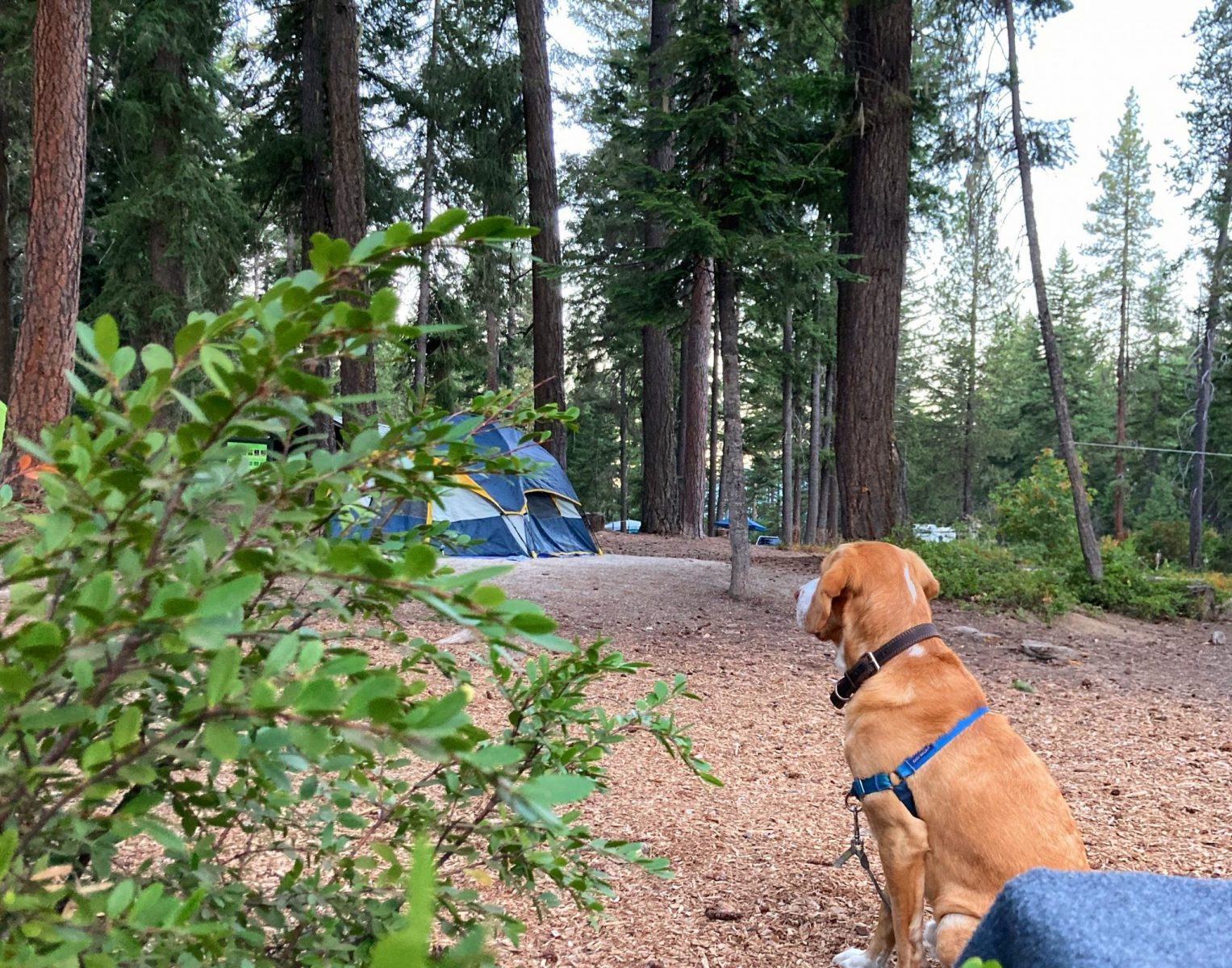A dog on a leash and harness sitting in a campsite at Lake wenatchee state park. There are open gravel areas between the tall green trees. There is a blue, yellow and gray tent in the background