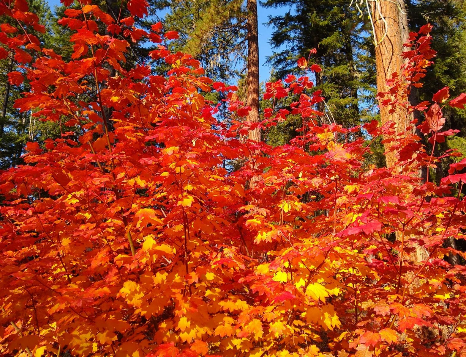 Red and orange vine maples on a sunny day with evergreen trees in the lake wenatchee state park