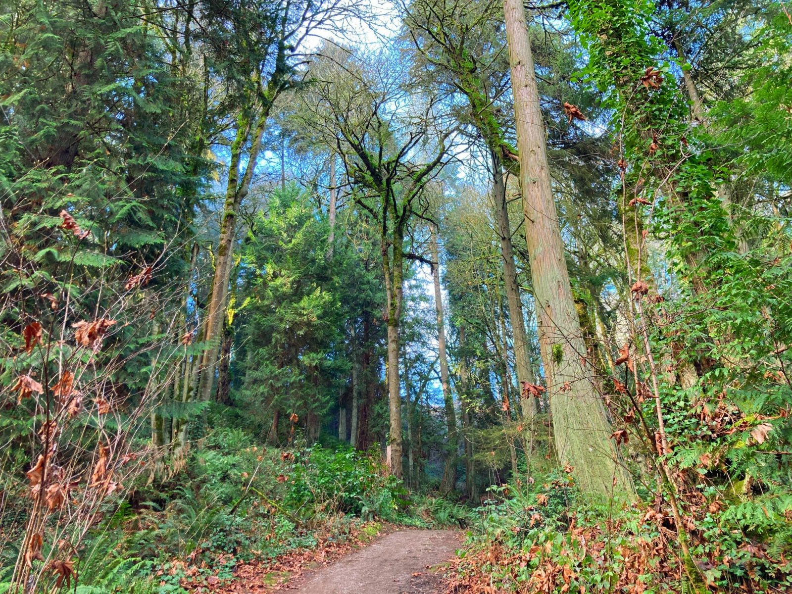 A trail through the forest with evergreen trees and green shrubs and undergrowth in Weowna Park, home to one of the excellent hikes in Bellevue