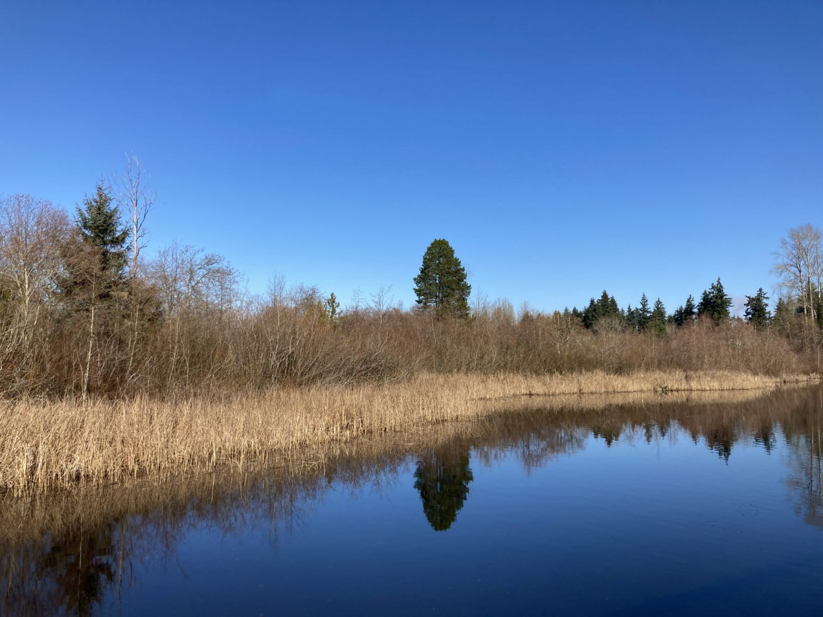 The edge of a small lake on a sunny winter day. The grasses and small shrubs next to the lake are brown. There are evergreen trees in the background