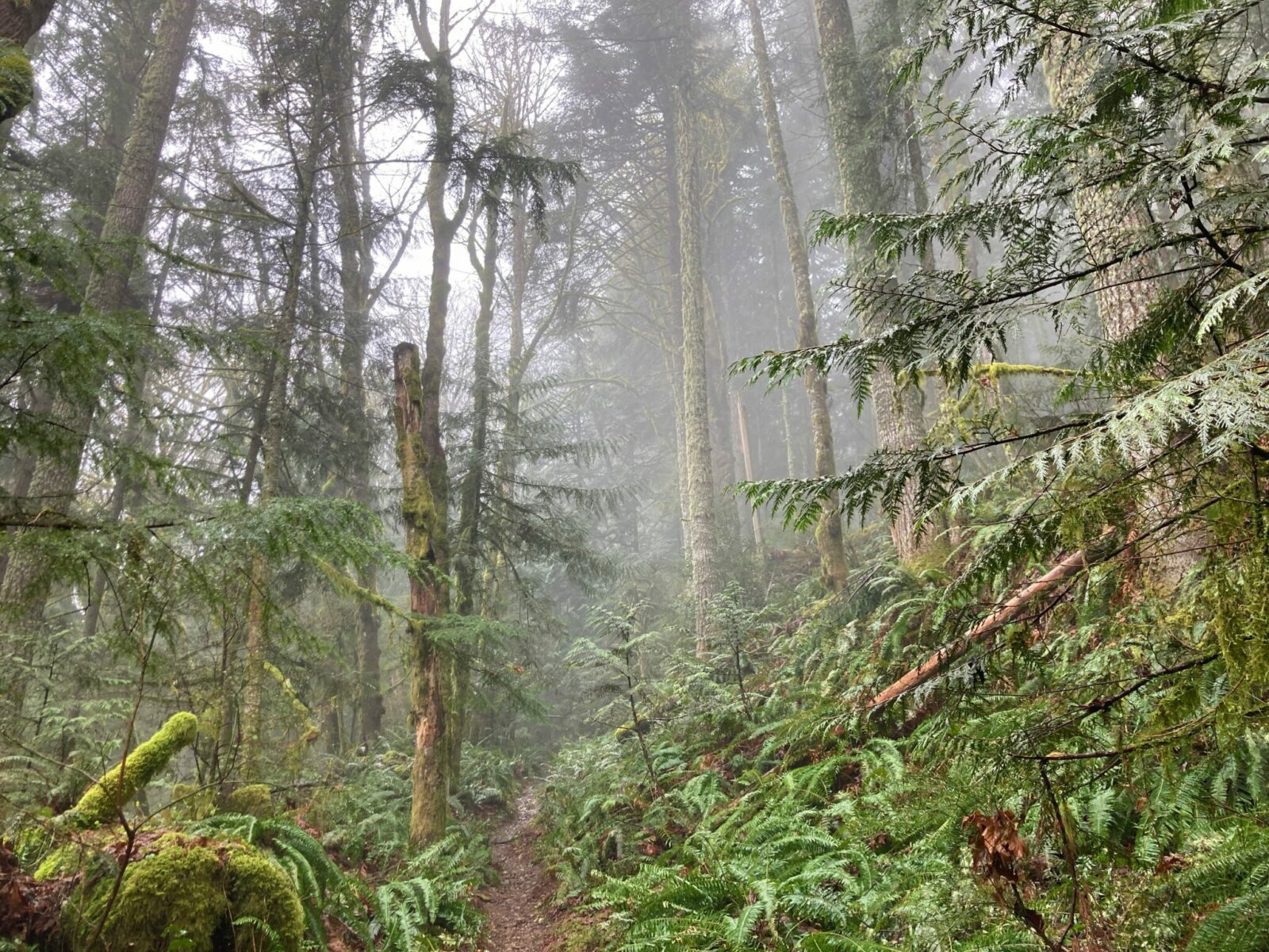 A narrow dirt trail heading uphill into the forest on Middle Tiger Mountain in Issaquah. There are ferns along the ground and it's a wet and foggy day.