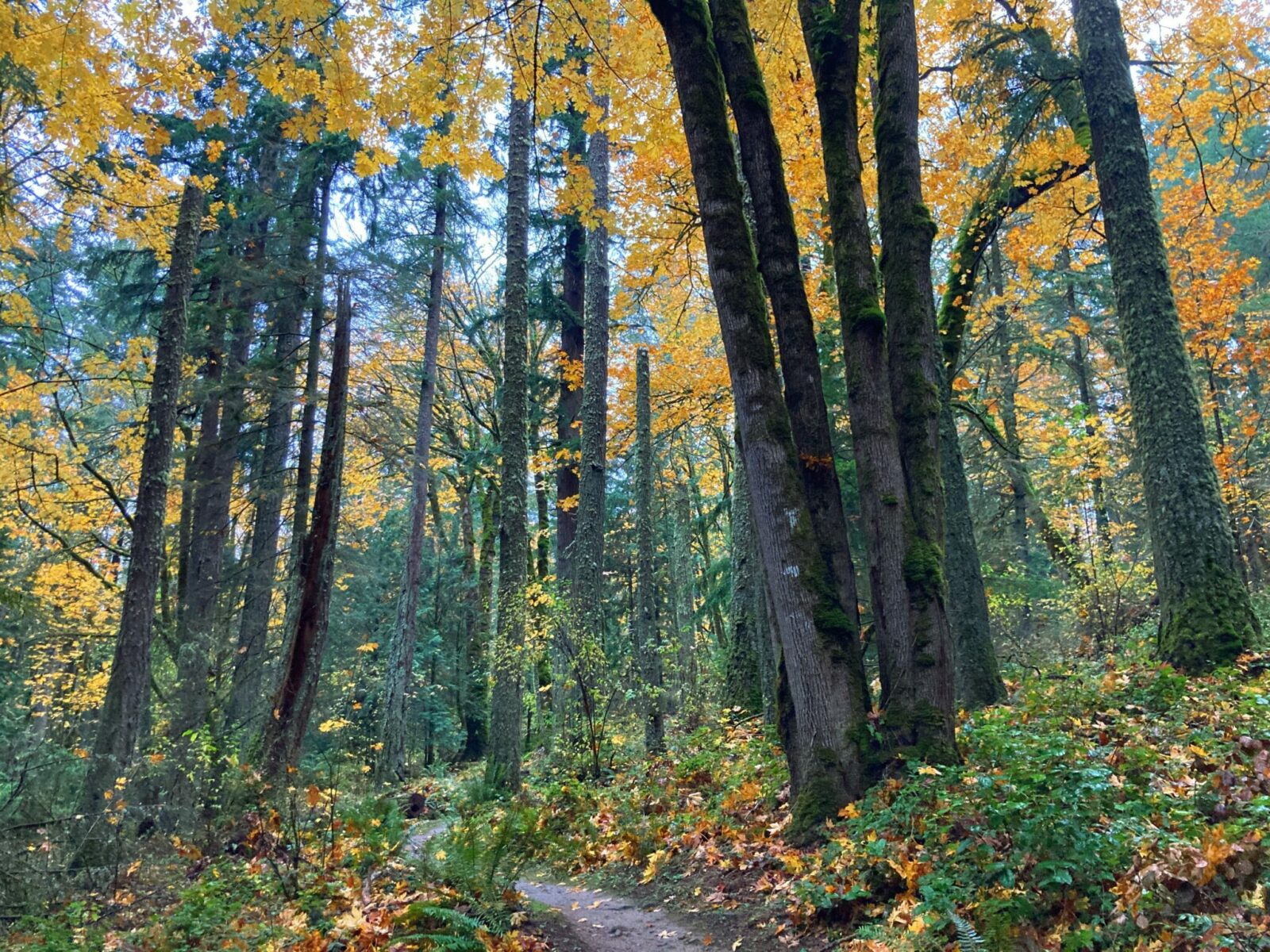 One of the best hikes in Issaquah, Grand Ridge is a trail through the forest of evergreen and maple trees that are golden yellow in October. Leaves are on the trees and also covering the trail