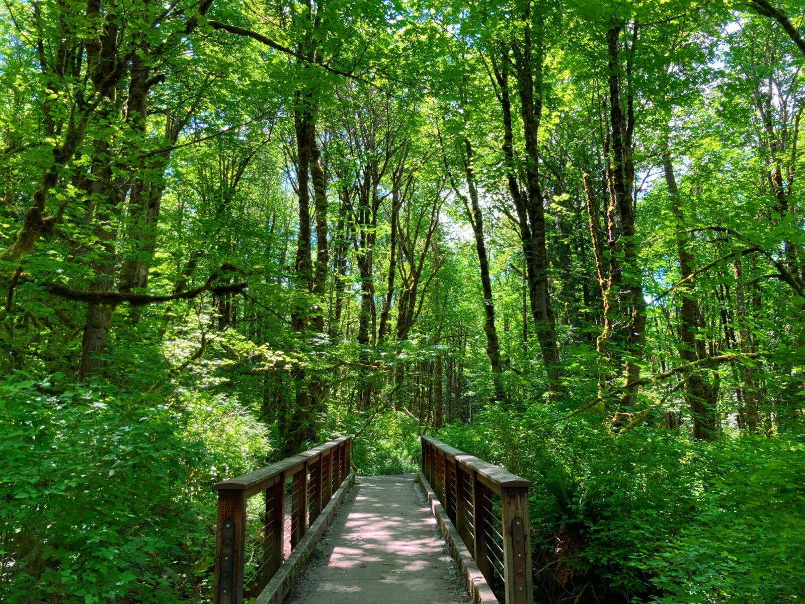 The best hikes in Issaquah include the Tradition Lake loop on Tiger Mountain. Here the forest is green upon green with spring growth. In the middle of the trees and undergrowth, a brown bridge over a creek leads into the forest