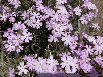small purple wildflowers up close