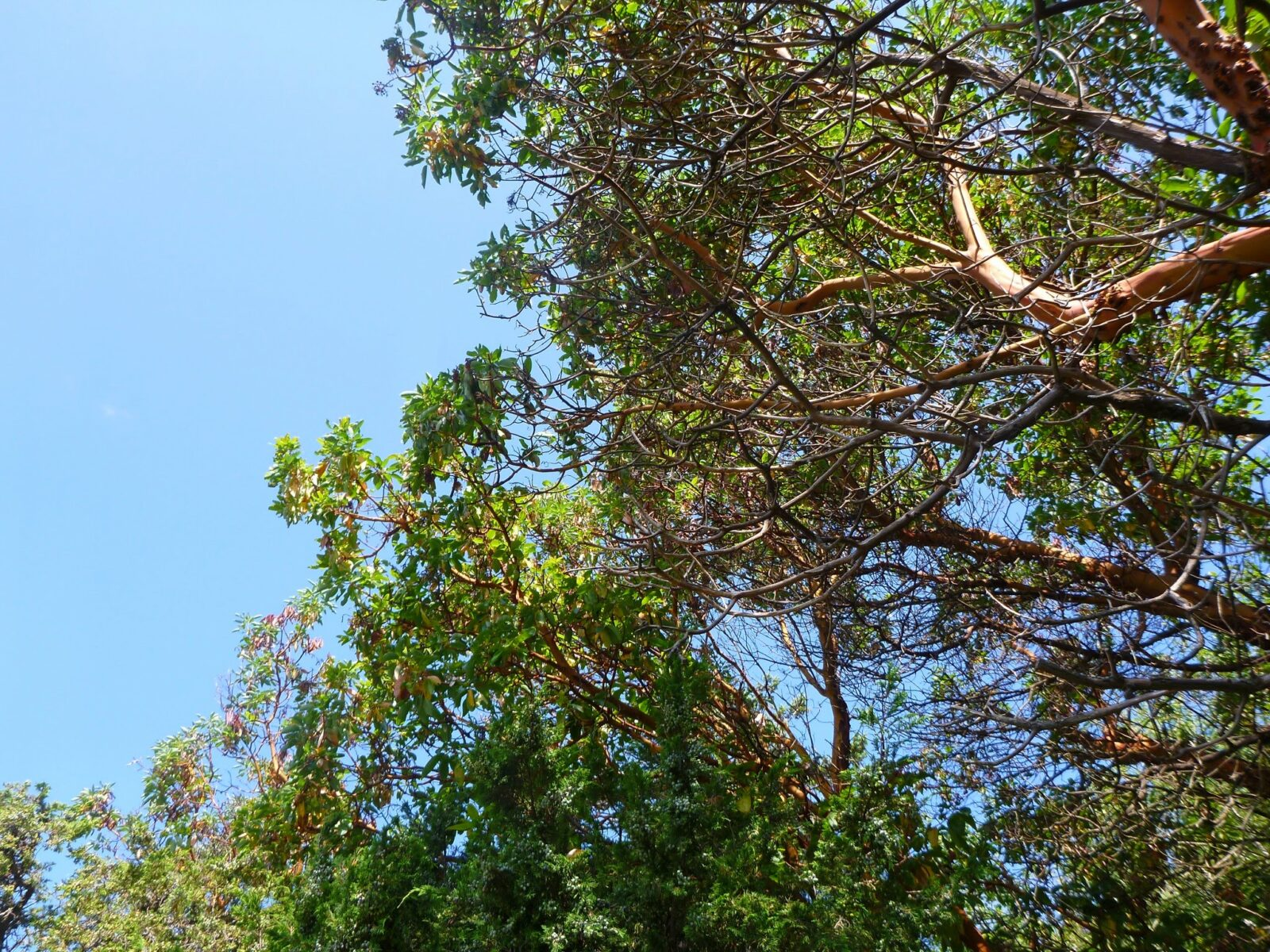 A view from below looking up at Pacific Madrona trees on a sunny day. The trees have red bark and bring green leaves